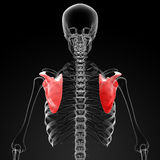 3d render medical illustration of the scapula Stock Photography