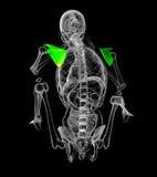 3d render medical illustration of the scapula bone Stock Images