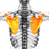 3d render medical illustration of the scapula bone Stock Image