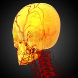 3d render medical illustration of the skull Royalty Free Stock Photography