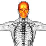 3d render medical illustration of the skull bone Stock Images