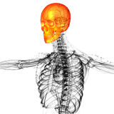 3d render medical illustration of the skull bone Stock Photography