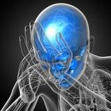 3d render medical illustration of the skull Royalty Free Stock Photos