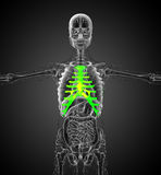 3d render medical illustration of the sternum and cartilage Royalty Free Stock Photos