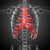 3d render medical illustration of the sternum and cartilage. Front view vector illustration