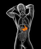 3d render medical illustration of the stomach Royalty Free Stock Images