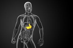 3d render medical illustration of the stomach Royalty Free Stock Photos