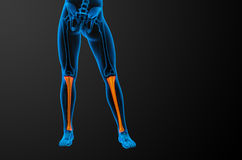 3d render medical illustration of the tibia bone Stock Photography