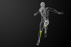 3d render medical illustration of the tibia bone Royalty Free Stock Photography