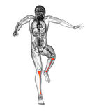 3d render medical illustration of the tibia Stock Photos