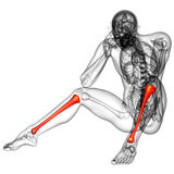 3d render medical illustration of the tibia Royalty Free Stock Photography