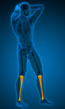 3d render medical illustration of the tibia Stock Photography