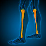 3d render medical illustration of the tibia Royalty Free Stock Image