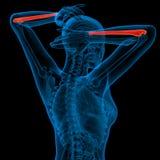 3d render medical illustration of the ulna bone Stock Photos