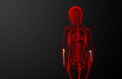 3d render medical illustration of the ulna bone Stock Photography