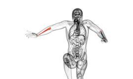 3d render medical illustration of the ulna bone Stock Images