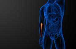 3d render medical illustration of the ulna bone Royalty Free Stock Photos