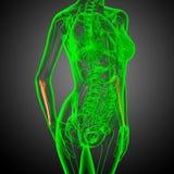3d render medical illustration of the ulna bone Stock Image