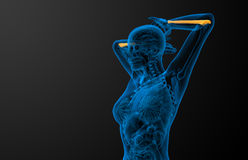 3d render medical illustration of the ulna bone Royalty Free Stock Photography