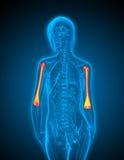 3d render medical illustration of the ulna Stock Images