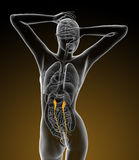 3d render medical illustration of the ureter Stock Photography
