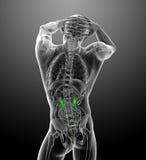 3d render medical illustration of the ureter Royalty Free Stock Photos