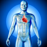 3D render of a medical image of a male figure with heart highlig Stock Image