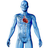 3D render of a medical image of a male figure with heart highlig Royalty Free Stock Photo