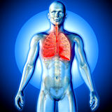 3D render of a medical image of a male figure with lungs highlig Stock Image
