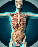 3D render of a medical image of a male figure Stock Image