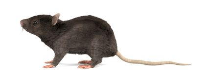 3d render of mouse Royalty Free Stock Photography