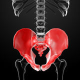 3d render pelvis under the X-rays. Front view Stock Photography