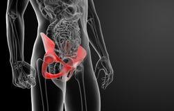 3d render pelvis under the X-rays Stock Photos