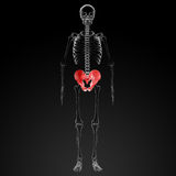 3d render pelvis under the X-rays Royalty Free Stock Photo