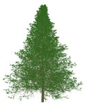 3d Render of a Pine Tree. Isolated on white Stock Photos