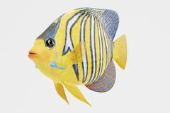 3D Render of Royal Angelfish Royalty Free Stock Photos