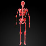 3d render Skeleton X-rays Stock Photo