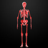 3d render Skeleton X-rays Stock Image