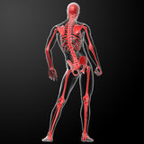 3d render skeleton by X-rays in red Stock Image