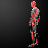 3d render skeleton by X-rays in red Stock Photography