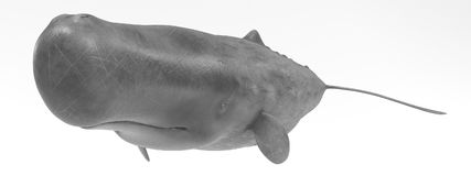 3D Render of Sperm Whale. Realistic 3D Render of Sperm Whale Royalty Free Stock Photos