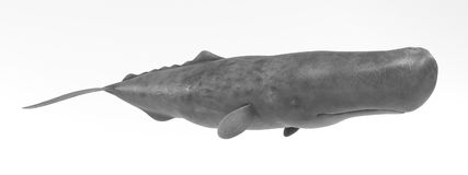 3D Render of Sperm Whale. Realistic 3D Render of Sperm Whale Royalty Free Stock Photography
