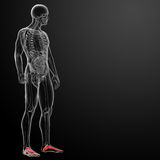 3d render x-ray of foot Royalty Free Stock Photos