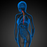 3d rendered illustration of the esophagus Stock Photos
