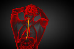 3d rendered illustration of the esophagus Stock Photography