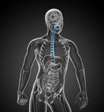 3d rendered illustration of the esophagus Stock Photo