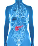 3d rendered illustration of the female pancreas Stock Photo