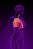 3d rendered illustration of the female respiratory system Stock Image