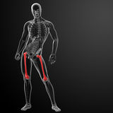 3d rendered illustration - femur bone Stock Photo