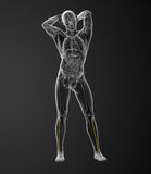 3d rendered illustration of the fibula bone Royalty Free Stock Photography